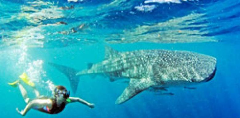 Exmouth Diving Centre: 1 day Whale Shark Snorkel Tour