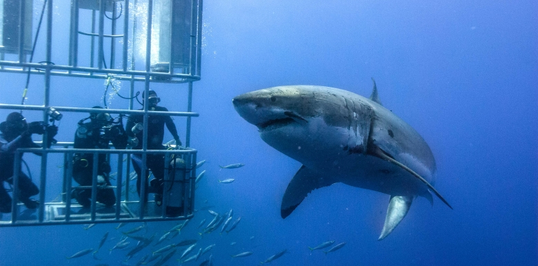 Nullarbor Traveller: Cage dive with the Great White Sharks